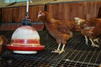 Prodej vajec, chov slepic